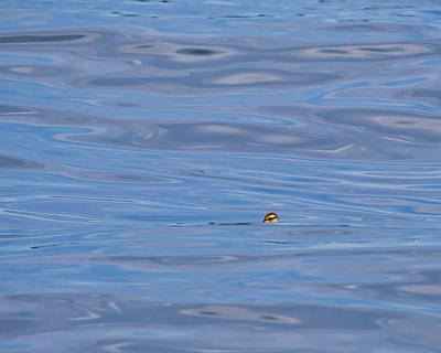 Photograph - Duckling - Lake Monona - Madison by Steven Ralser