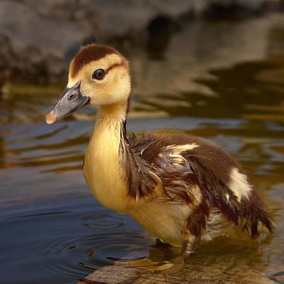 Duckling Original