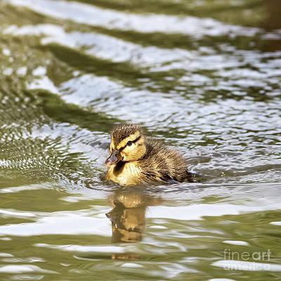 Duckling Paddling In The Sunshine Art Print