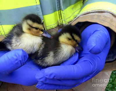 Photograph - Helping Hands Duckling Rescue by Susan Garren