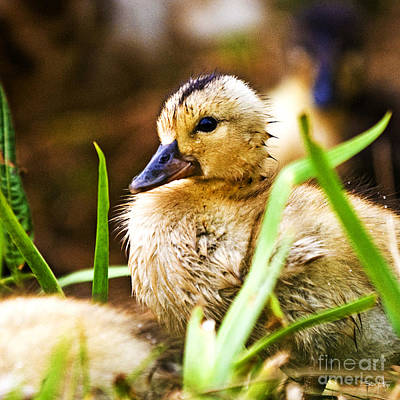 Baby Mallards Photograph - Duckling by Scott Pellegrin