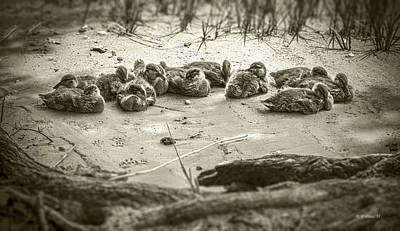 Photograph - Duckling Siblings - Sepia by Brian Wallace