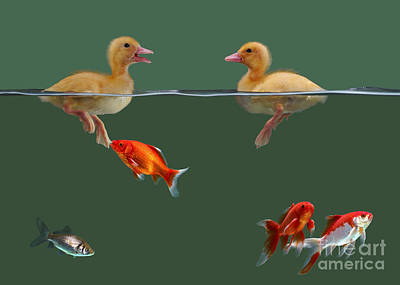 Ducklings And Goldfish Print by Jane Burton