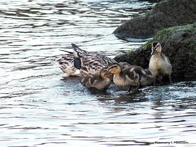 Photograph - Ducklings At Play by Kimmary I MacLean