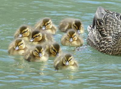 Photograph - Ducklings by Bill Jordan