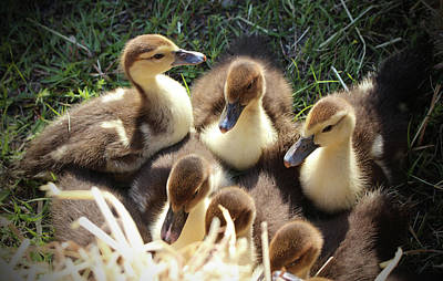 Photograph - Ducklings by Cynthia Guinn