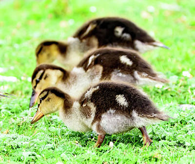Photograph - Ducklings Grazing by Colin Rayner
