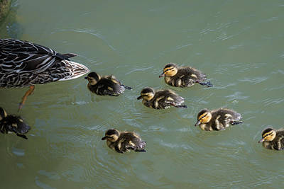 Photograph - Ducklings In Tow by Robert Potts