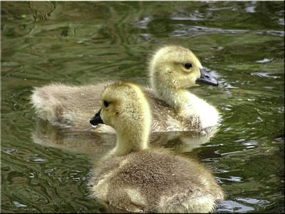 Photograph - Ducklings by Mikki Cucuzzo