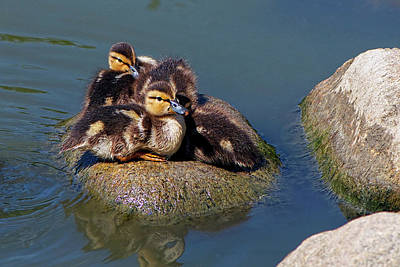 Baby Mallards Photograph - Ducklings On A Rock by Sharon Talson