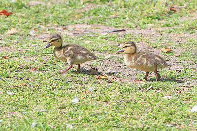 Photograph - Ducklings On The Grass by Shoal Hollingsworth