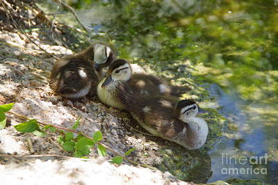 Photograph - Ducklings On The Shore by Jeff Swan