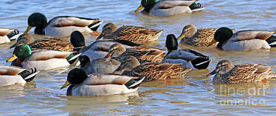 Photograph - Ducks  5850 by Jack Schultz