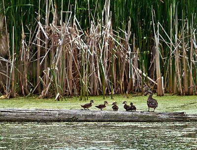 Ducks All In A Row Art Print