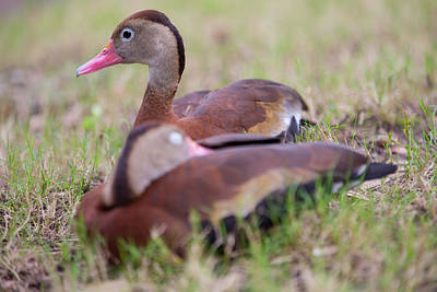 Photograph - Black-bellied Whistling Ducks by Allan Morrison