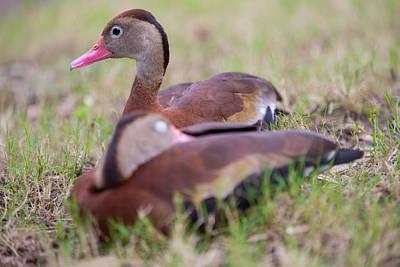 Photograph - Black-bellied Whistling Ducks by Allan Morrison