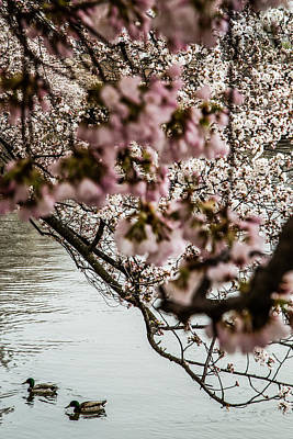 Photograph - Ducks And Cherry Blossoms by Karen Saunders