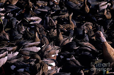 Photograph - Ducks And Coots Along Shoreline  by Jim Corwin