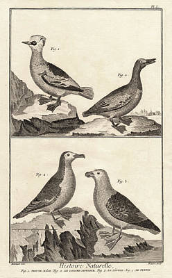 Puffin Digital Art - Ducks And Puffins Antique Print by Antique Images
