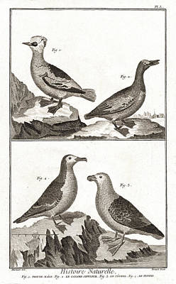 Puffin Digital Art - Ducks And Puffins - Antique Waterbird Engraving by Antique Images