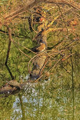 Photograph - Ducks And Turtles by Robert Hebert