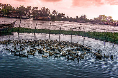 Ducks At Backwaters Around Alleppey, Kerala, India Art Print
