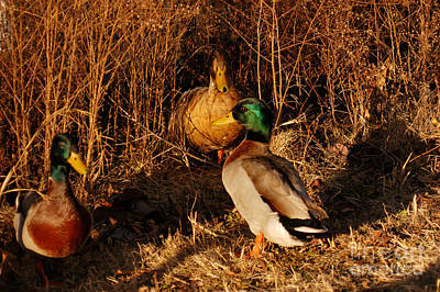 Photograph - Ducks At Dusk by Clayton Bruster
