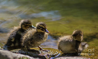 Photograph - Duck Babies by Eva Lechner