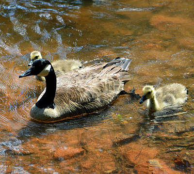 Photograph - Duck Family by David Lee Thompson