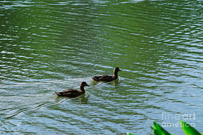 Duck Photograph - Ducks In A Pond by Chris Baboolal