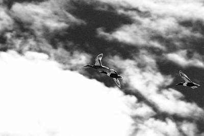 Photograph - Ducks In Flightt by Brian Sereda