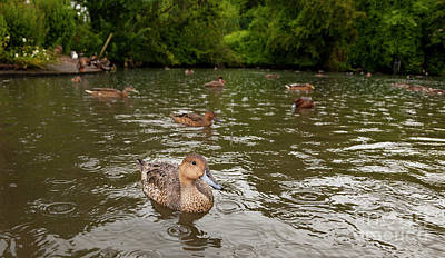 Photograph - Ducks In The Rain by Jim Orr