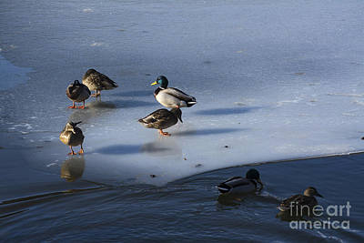 Mallard Duck Photograph - Ducks Mallard On Afrozen Lake by Bernard Jaubert