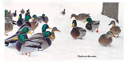 Middlebury Photograph - Ducks On The Snow by Marcel  J Goetz  Sr