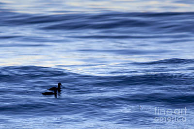 Photograph - Ducks Riding A Wave by Sharon Foelz