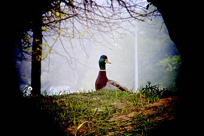 Photograph - Duck's Story by Milena Ilieva
