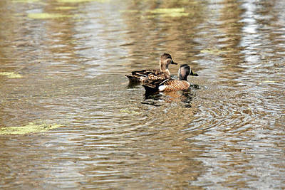 Art Print featuring the photograph Ducks Together by Teresa Blanton