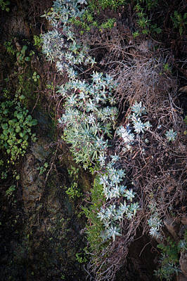 Photograph - Dudleya At Cliff 1 by Catherine Lau