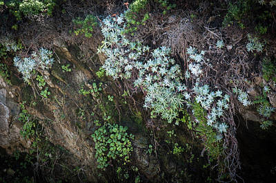 Photograph - Dudleya Growing On The Cliff by Catherine Lau