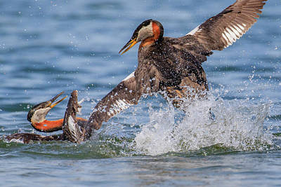 Photograph - Dueling Grebes by Gary Hall
