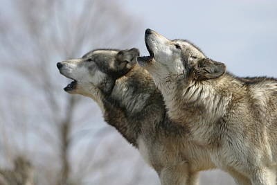 Photograph - Duet Howl by Shari Jardina