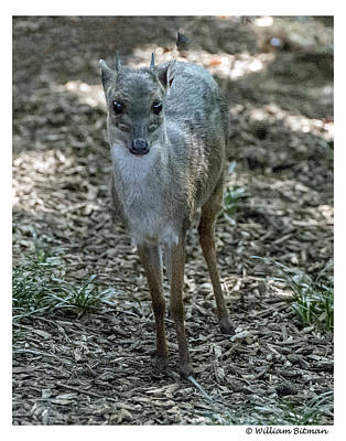 Photograph - Duiker by William Bitman