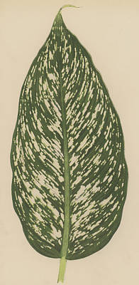 Nature Study Drawing - Dumbcane by English School