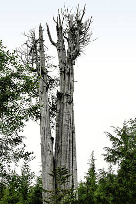 Duncan Memorial Big Cedar Tree - Olympic National Park Wa Original by Christine Till