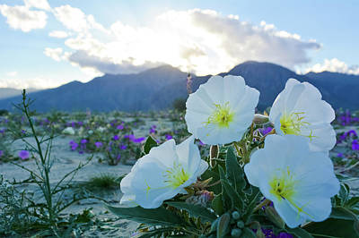 Photograph - Dune Evening Primrose Wildflowers by Kyle Hanson