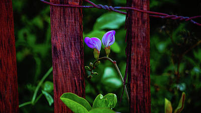 Photograph - Dune Fence Flowers Delray Beach Florida by Lawrence S Richardson Jr