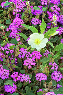 Photograph - Dune Primrose Oenothera Deltoides And Purple Sand Verbena by Dave Welling