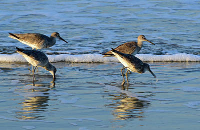 Photograph - Dunking Willets by Bruce Gourley