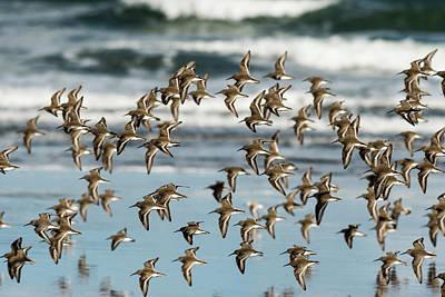Photograph - Dunlin Flock by Robert Potts