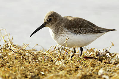 Photograph - Dunlin In The Brown Grasses by Sue Harper